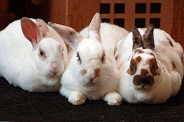En merkelig måte å spare penger på dagligvarer: Raise kaniner i bakgården