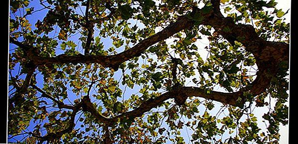 Пооктре: Направите 100 долара од обликовања дрвећа